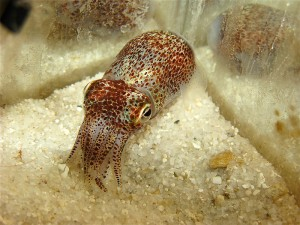 <p>Bobtail squid bred by Professor Spencer Nyholm in his saltwater laboratory. The nocturnal squid bury themselves under the sand during the day. Photo by Spencer Nyholm</p>