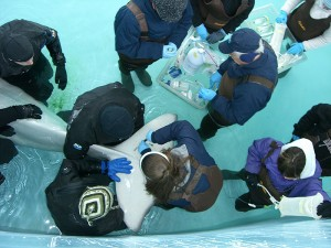 <p>Mystic Aquarium veterinarians and trainers obtain blood samples from Inuk's tail fin. Photo provided by Dr. Andre Kaplan</p>