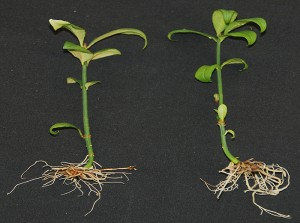 A diploid, invasive burning bush seedling, left, and right, a triploid, non-invasive burning bush seedling created by Yi Li and his research team.