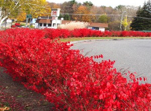 Winged euonymus (burning bush), introduced to the US in the 1860s, is highly popular with landscapers due to its brilliant leaves in the fall.