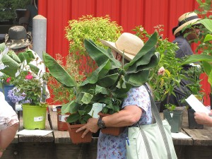 A winning bid at the silent auction earned Master Gardener Ellen Bender two miniature banana trees.