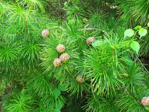 This Japanese Umbrella Pine in the Waxman Conifer Collection is sharing space with invasive bittersweet ... but not for long.