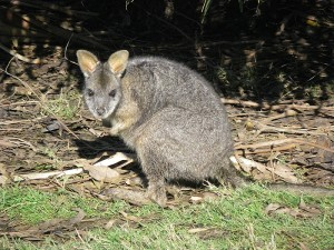 An adult tammar wallaby.