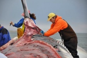 Bogomolni (behind the fin) and a colleague conduct a necropsy on a fin back whale.