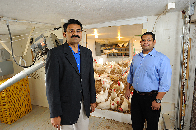 Kumar Venkitanarayanan, professor of animal science and Anup Kollanoor Johny, a postdoctoral fellow in animal science, with chickens at the Poultry Unit on Horsebarn Hill Road on Nov. 29, 2011. (Peter Morenus/UConn Photo)