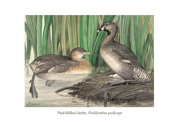 Pied-Billed Grebe (Podilymbus podiceps) by Rex Brasher.