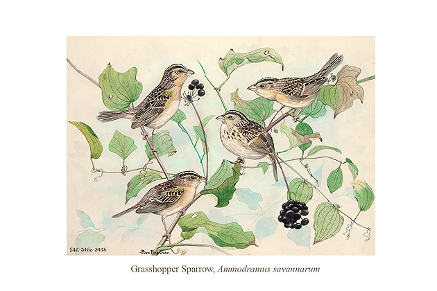 Grasshopper Sparrow (Ammodramus savannacum) by Rex Brasher.