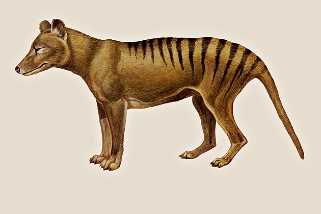 Tasmanian Tiger (Encyclopedia Britannica Inc.)