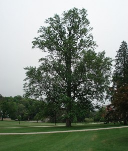 The tallest tree on the Storrs campus, found on the Great Lawn, is a tulip tree that was planted more than a centruy ago, in 1905. (Stefanie Dion Jones/UConn Photo)