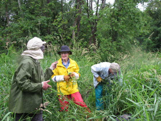 Extension educator Donna Ellis, left, along with volunteers Jean Jerbert, center, and Bill Bradley pull mile-a-minute vine in the Mohegan State Forest. (Sheila Foran/UConn Photo)
