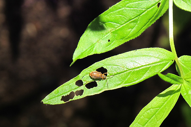 The Galerucella beetle feeding on a leaf of the purple loosestrife provides an efficient form of biological control. (Donna Ellis/UConn Photo)