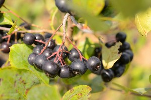 Aronia berries growing at the Plant Science Research Farm on Aug. 9, 2012. (Peter Morenus/UConn Photo)