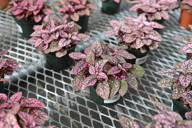 In the Keep it Alive! contest, students could choose a plant at the Floriculture Greenhouse to take home and keep alive until Dec. 7, when the plants will be judged. (Ariel Dowski '14 (CLAS)/UConn Photo)