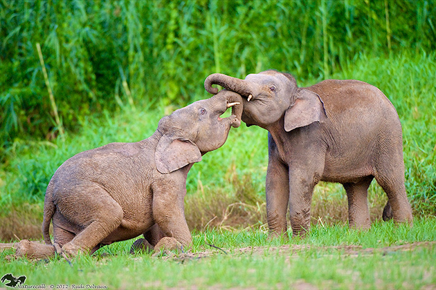 Two of the remaining 2,000 pygmy elephants on the island of Borneo. The Bornean elephant has very limited genetic diversity. (Photo: Benoit Goossens)