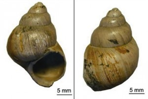 Carbonate shells of the freshwater gastropod Viviparus lentus from the Hampshire Basin, UK. (Photo courtesy of Michael Hren)