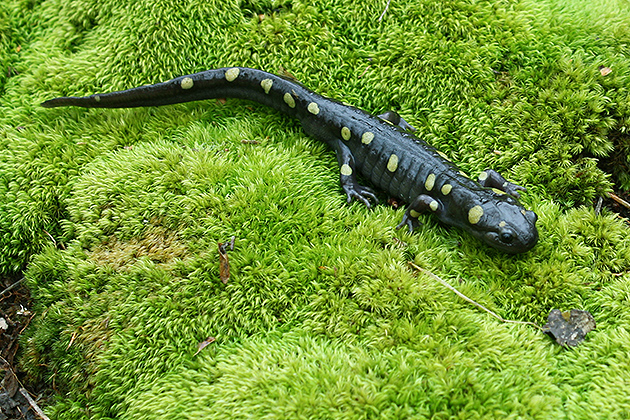 A spotted salamander adult migrates to a temporary pond to breed. Its larvae are differentially adapted to individual ponds. These local adaptations alter the rest of the biotic community and can buffer some of the ecological effects of top predators. (Mark Urban/UConn Photo)