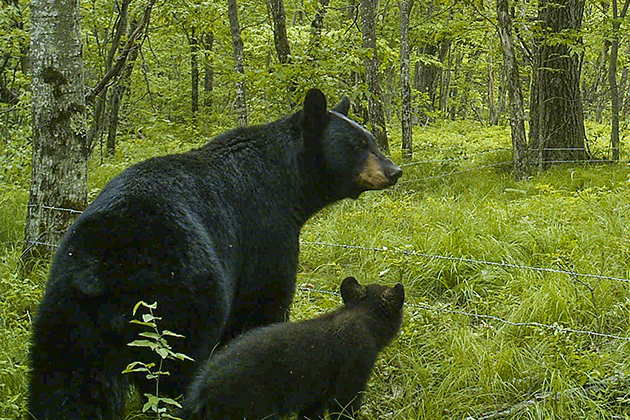 Sightings of black bears in Connecticut are becoming increasingly common. (Photo courtesy of Tracy Rittenhouse)