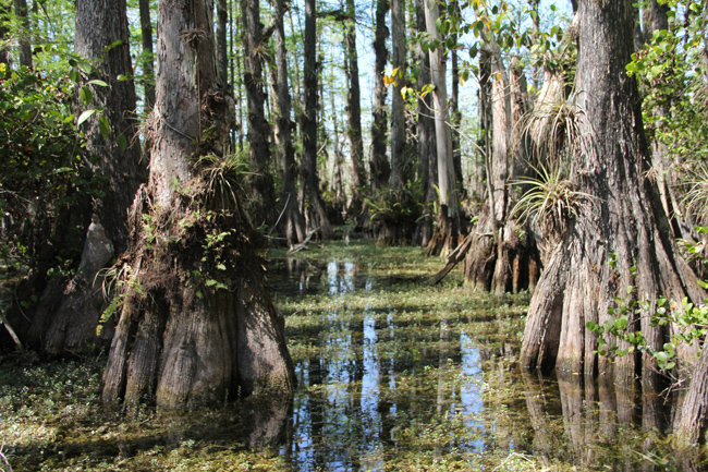 Cypress trees thrive in pools called cypress domes. (Kait­lyn Carroll/UConn Photo)