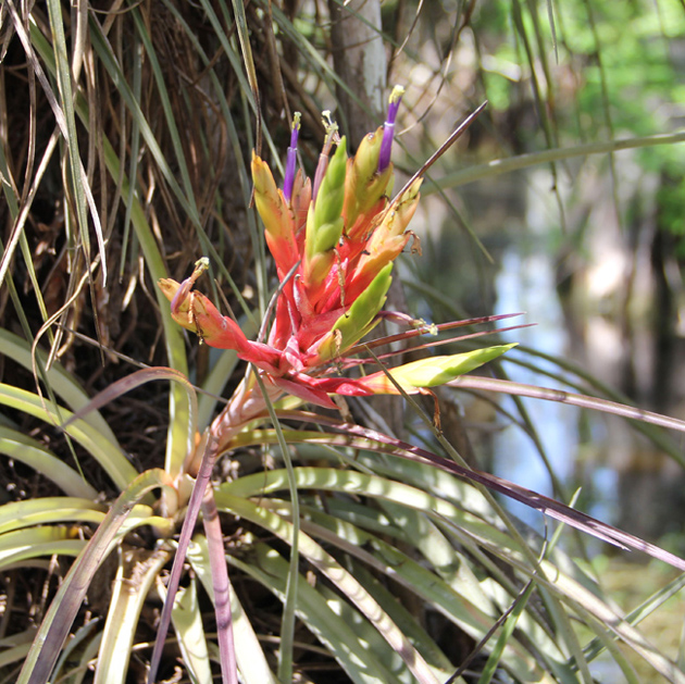 A bromeliad air plant bloom­ing deep in a cypress dome, a pool that col­lects in a lower ele­va­tion of the Ever­glades. (Kait­lyn Carroll/UConn Photo)