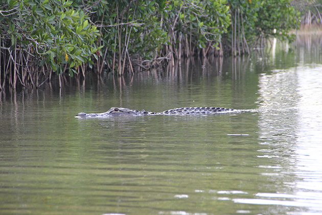 The seren­ity of a morn­ing on Nine Mile Pond in the Everglades is bro­ken by an alligator. (Kait­lyn Carroll/UConn Photo)