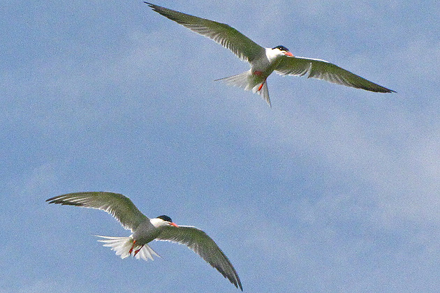 Two Common Terns, circling Gull Island. (Sheila Foran/UConn Photo)