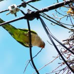 A Monk Parakeet with a twig in its beak at a nest in Stratford, Conn. (Kevin Burgio '10 (CLAS)/UConn Photo)
