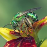 A metallic Green Bee (Agapostemon sericeus) female foraging on Tickseed (Coreopsis verticillata). (Kim Phillips Photo)