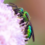 Metallic Green Bee (Augochlora pura) female. (Kim Phillips photo)