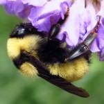 Golden Northern Bumble Bee (Bombus fervidus) queen. (Kim Phillips Photo)