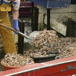 A shrimper shovels a load of shrimp into buckets to carry them from the hold to the sorting table. (iStock Photo)