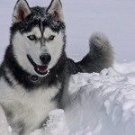 Husky dog Jonathan XIV enjoys the deep snow after the blizzard of Jan. 26. (Elizabeth Caron/UConn Photo)