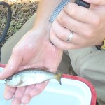 Jan-Michael Hessenauer uses a UV flashlight to see a visual implant elastomer tag. This was one of two methods that were sued to confirm the population of origin of the fish under study. Each fish was elastomer tagged the fall prior to being released into the pens. Tags are a soft liquid that is injected in gel form under the fish's skin, like a tatoo. Fish were also fin clipped - a different fin for each population. The clips grow back quickly but leave a recognizble scar. When researchers saw both the correct color and the correct fin clip, they were certain where the fish had come from. (Jason Vokoun/UConn Photo)