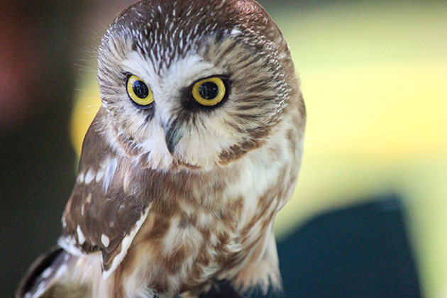 A northern saw whet owl brought by Horizon Wings rehab center seen during BioBlitz 2015 on July 25, 2015. (Sheila Foran/UConn Photo)