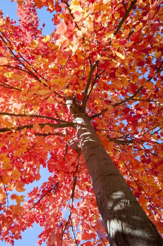 A tree with bright red leaves during fall foliage on Nov. 4, 2013. (Sean Flynn/UConn Photo)
