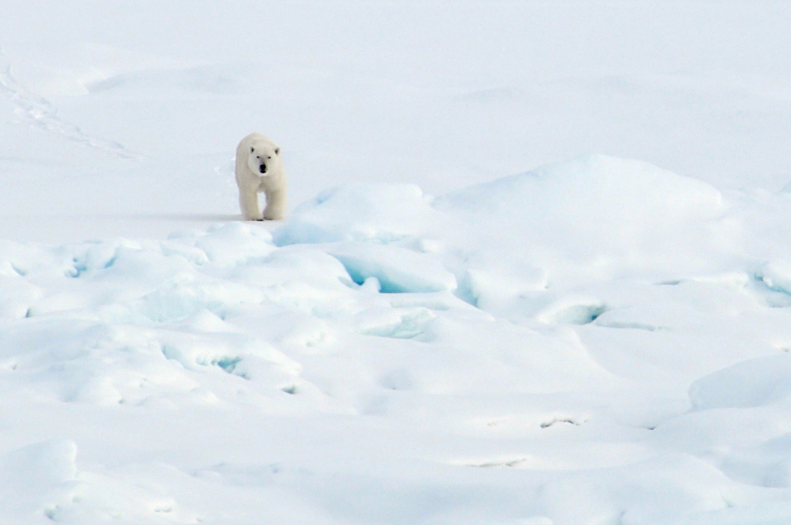 A polar bear walks on the Arctic Ocean ice, Aug. 21, 2009. (U.S. National Oceanic and Atmospheric Administration Photo)