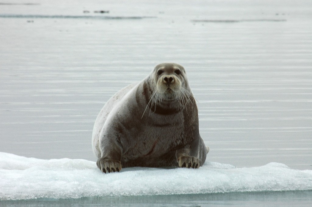Ringed seal (iStock Photo)