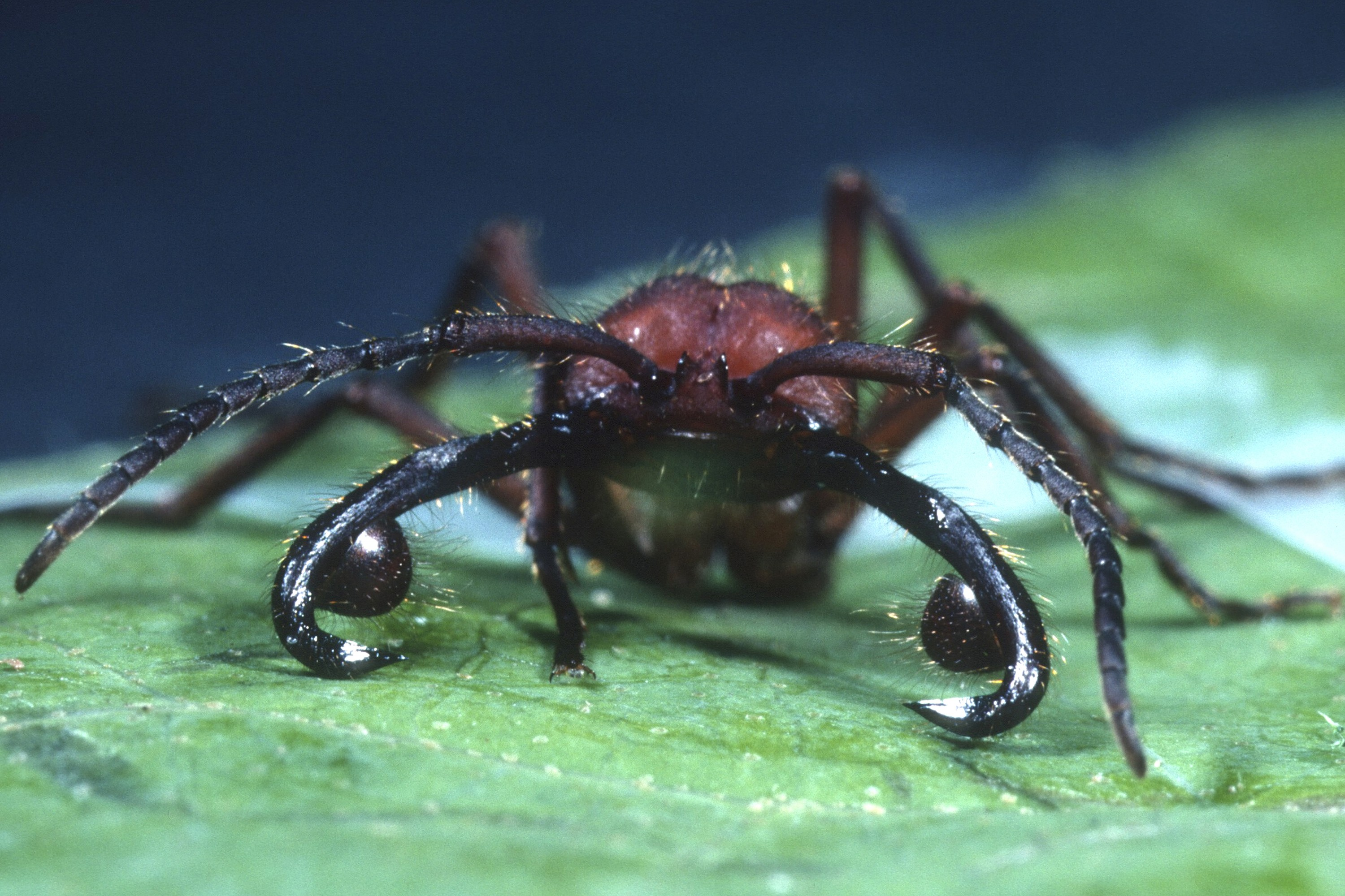 Mites on ant mandible. (Carl Rettenmeyer/UConn Photo)