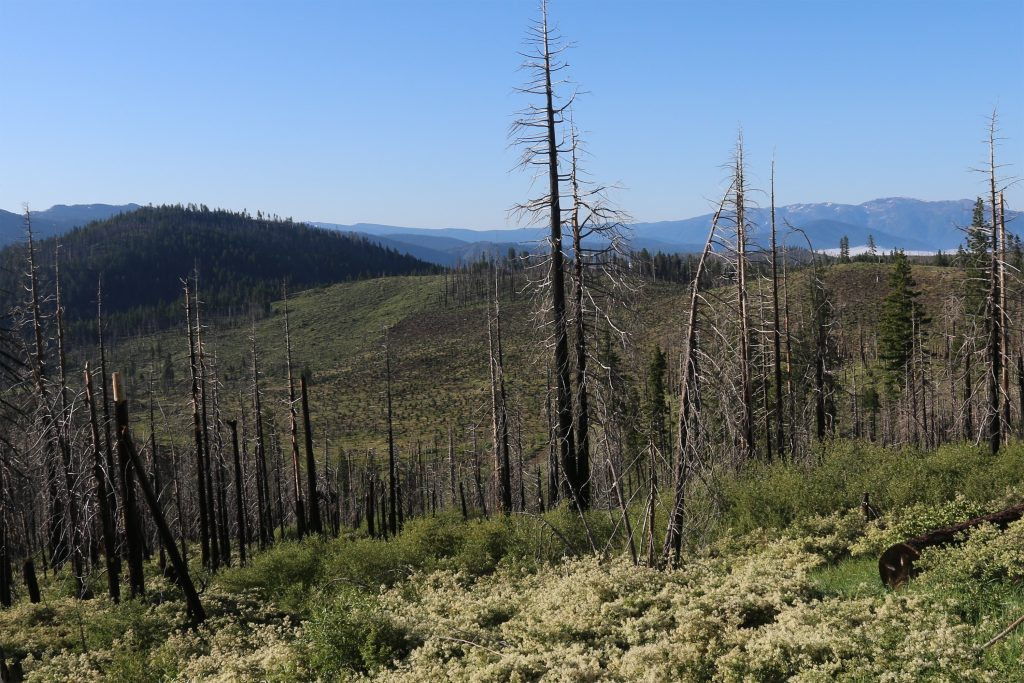 Nine years after the Moonlight fire in Plumas county, California, the landscape shows remarkable resilience with a diversity of habitat structure and birds. (Photo courtesy of Morgan Tingley)