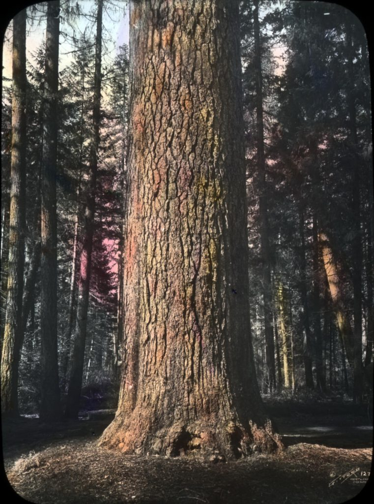 The mighty Sugar Pine, the largest of the world's pines, is being threatened by a tiny invasive fungus. (Wikimedia Commons)