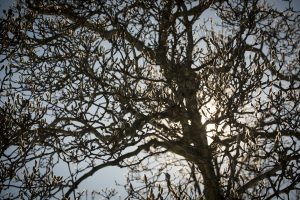 Tree silhouette in winter on Jan. 9, 2017. (Sean Flynn/UConn Photo)