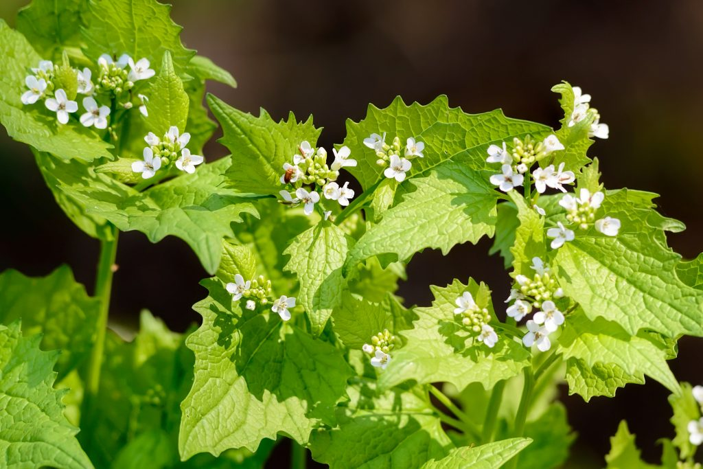 Garlic mustard (Alliaria petiolata) with white flowers. (Getty Images)