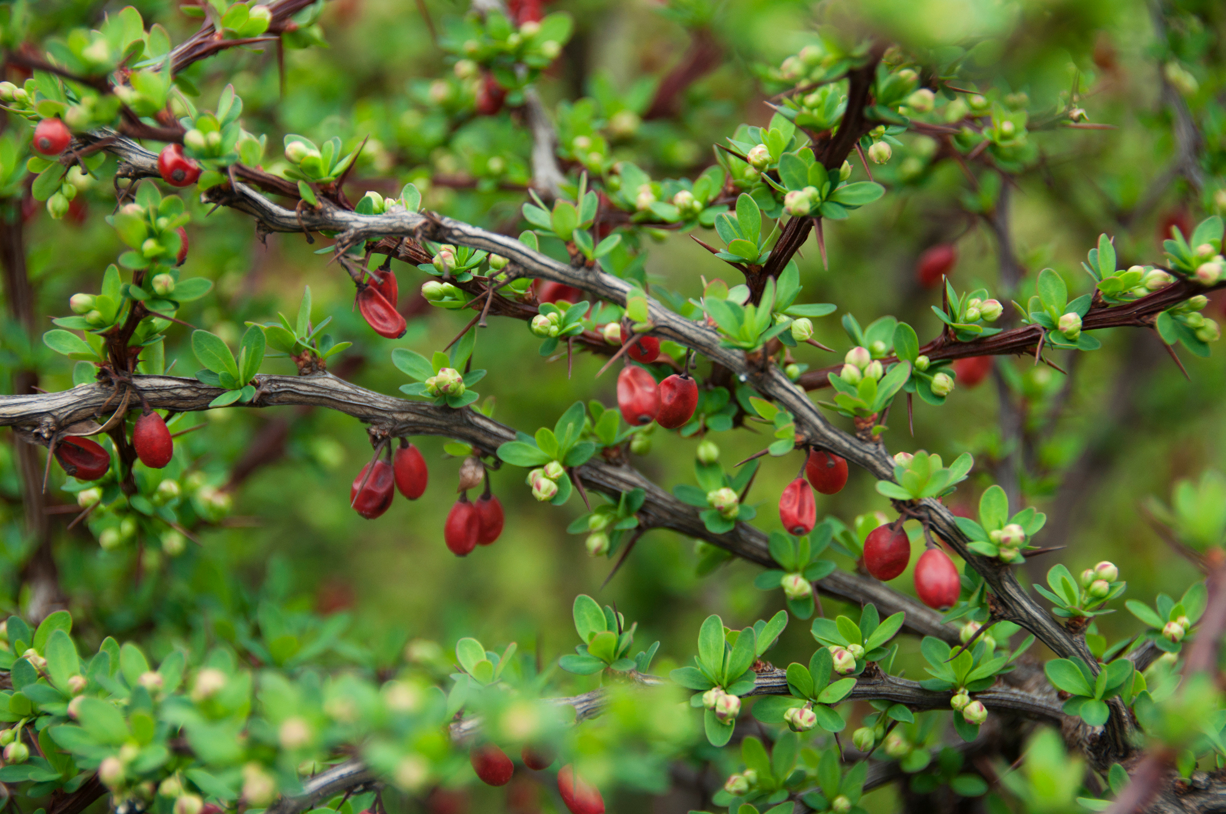 Invasive Japanese Barberry to Spread Further with Climate Change