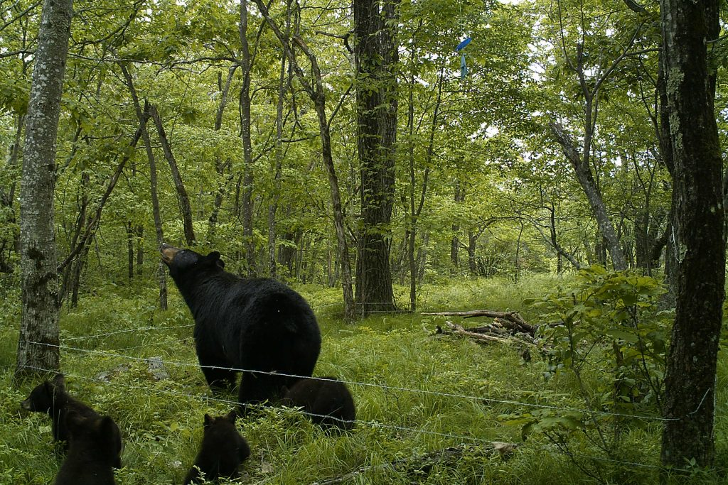 The state DEEP estimates there are as many as 700 individual bears – adults and cubs – currently living in Connecticut. (Photo courtesy of Tracy Rittenhouse)