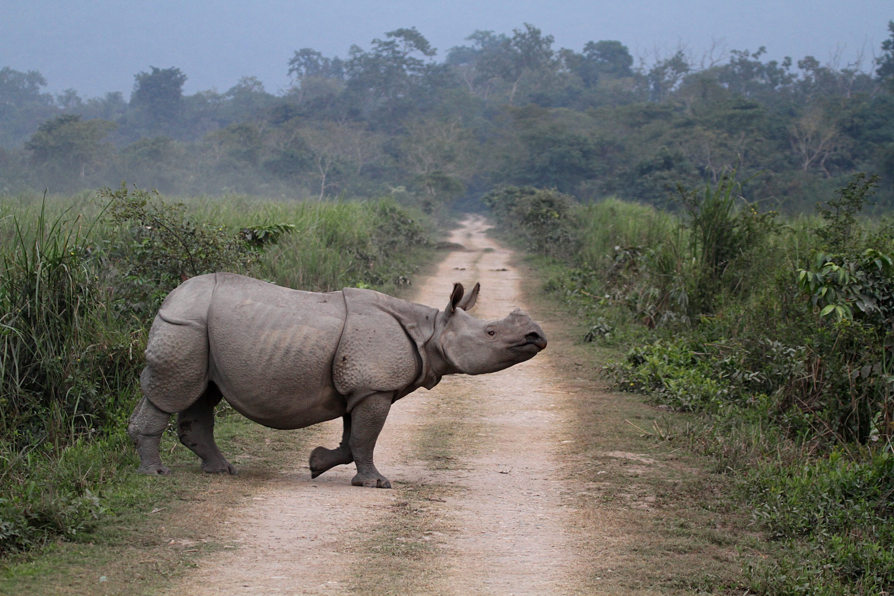 A Great One-horned Indian Rhinoceros crosses the road at Kaziranga National Park, Assam, India. (Arunsundar/Getty Images)