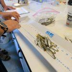 All adult Silversides used to produce new offspring are measured and preserved. (Peter Morenus/UConn Photo)
