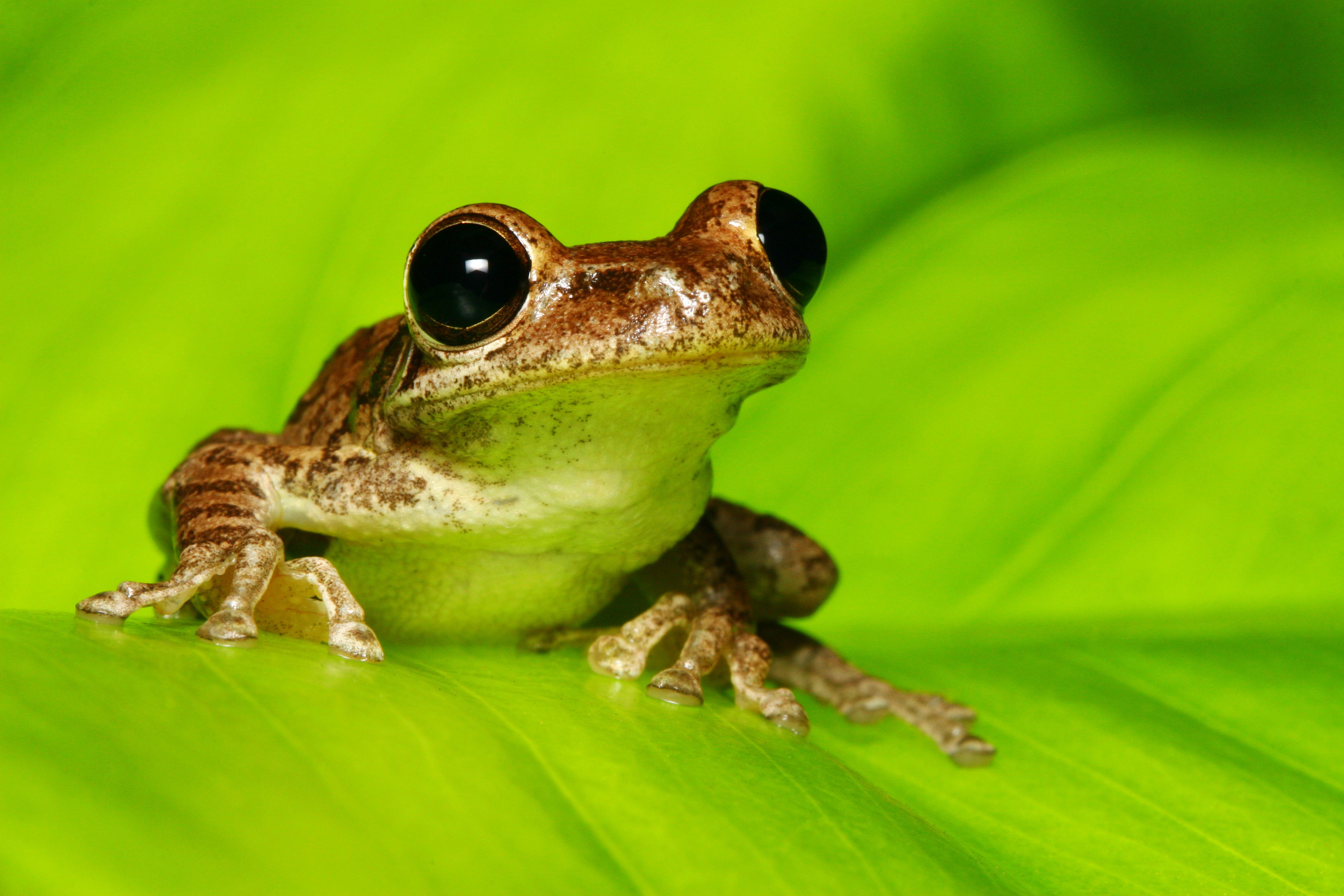 In Frogs, Early Activity of Gut Microbiome Shapes Later Health